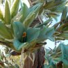 Puya chilensis:fiore